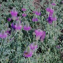 Western prairie clover  Dalea ornata