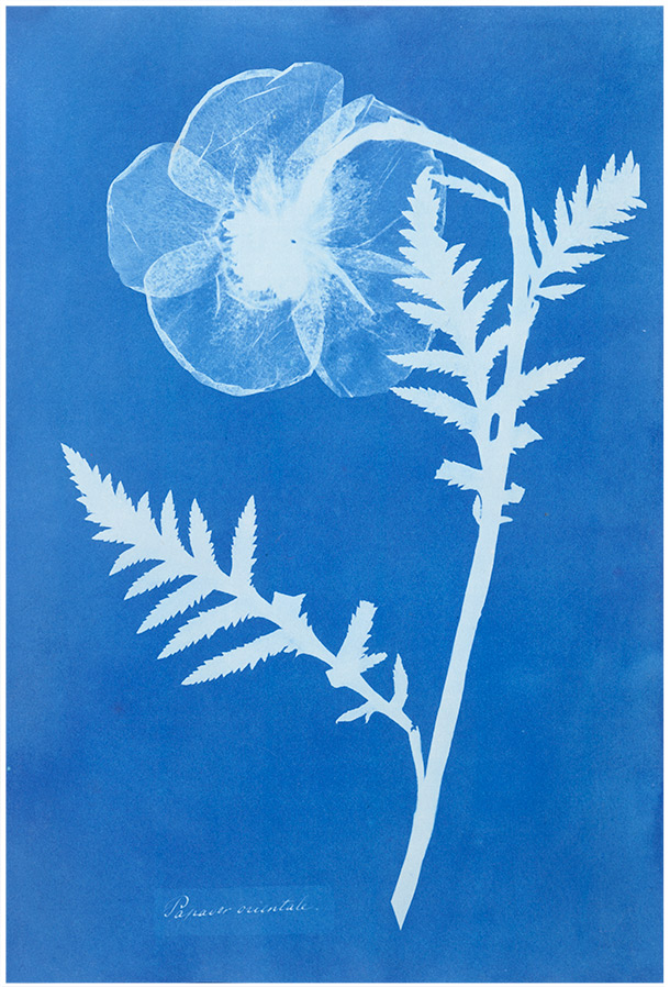 Anna Atkins,Poppy, about 1852 Museum no. PH. 381-1981 © Victoria and Albert Museum, London ––