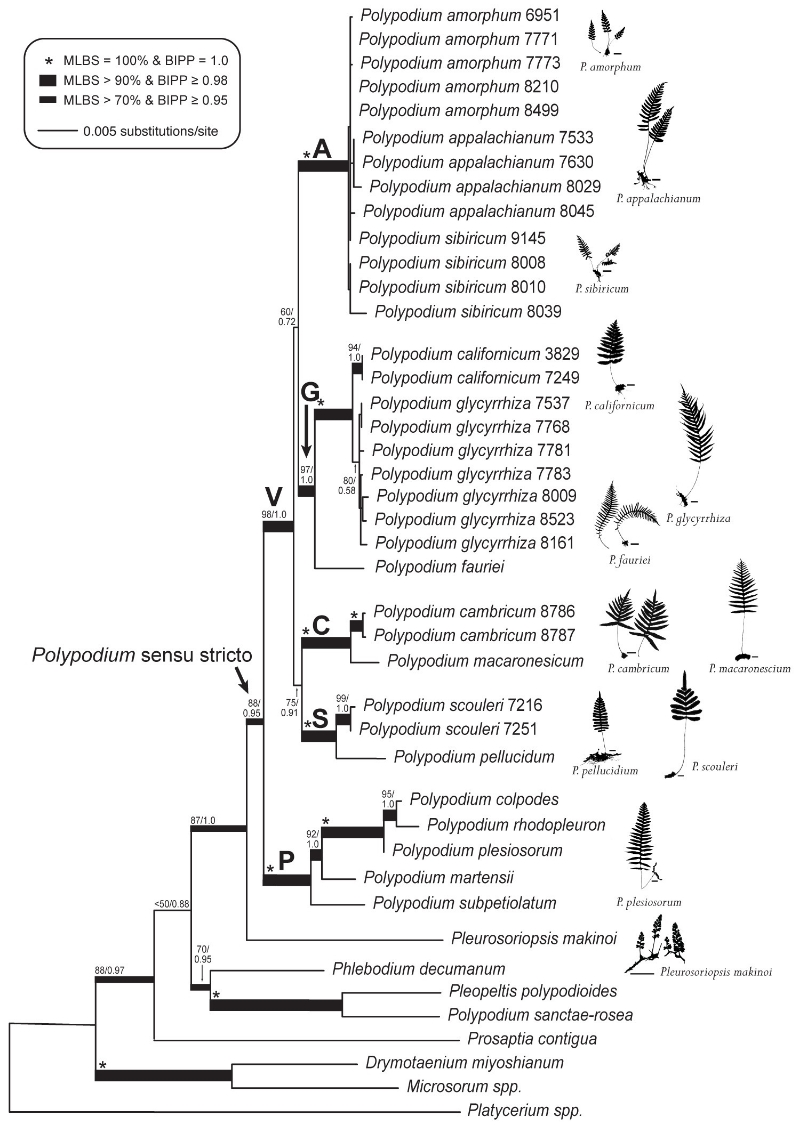The best ML phylogram for the ten diploid taxa of the Polypodium vulgare complex, five taxa belonging to the P. plesiosorum group, and eight outgroup taxa (Table 1). ML bootstrap support values and Bayesian inference posterior probabilities are given above nodes and indicated with thickened branches (see inset legend). The bolded V and P identify the monophyletic P. vulgare complex and monophyletic P. plesiosorum group, respectively. Bolded letters A, G, C, and S indicate the major subclades of diploid species within the P. vulgare complex: the P. amorphum clade, the P. glycyrrhiza clade, the P. cambricum clade, and the P. scouleri clade, respectively. Scale bars next to each silhouette represent 2.54 cm. Image from Sigel et al. 2014, Systematic Botany.