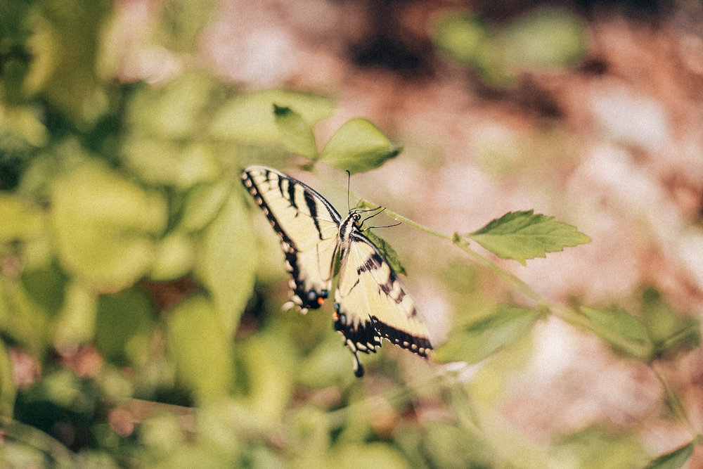 Butterfly in Shelby Forest / Oui We