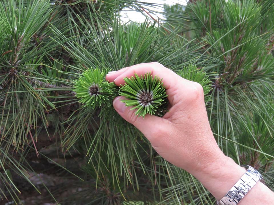 La branche couleur vert tendre d'un pin parasol en pleine croissance