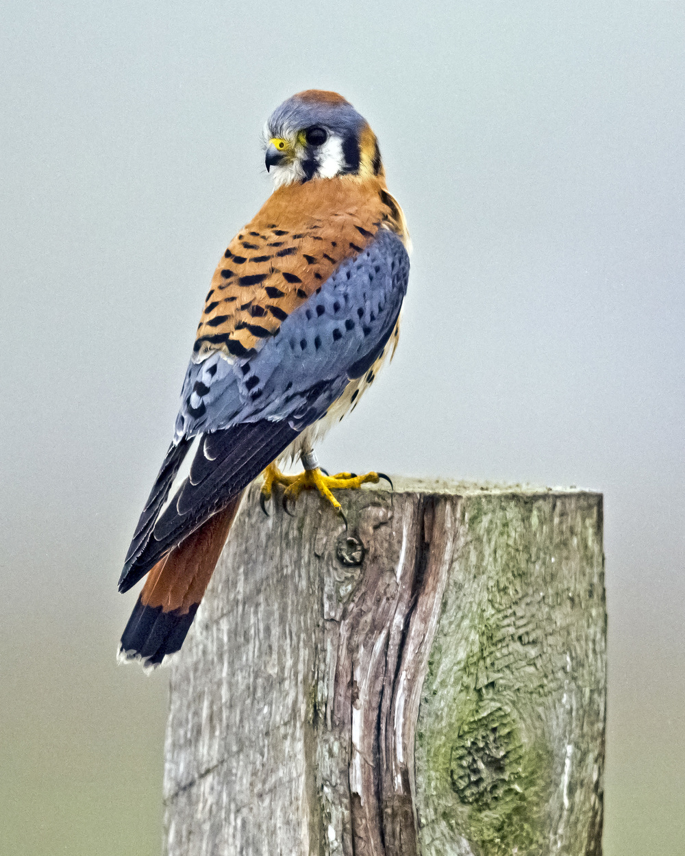 American Kestrel photo:  Ed Stetson