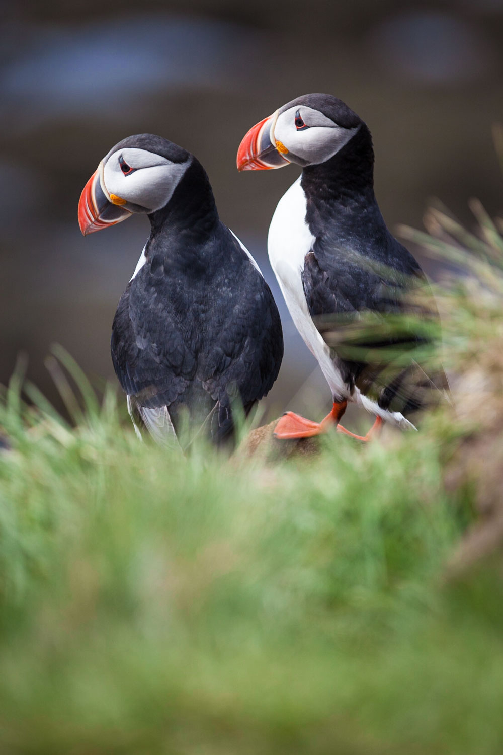 Puffins on the Latrabjarg Cliffs. The largest sea bird cliff in Europe.