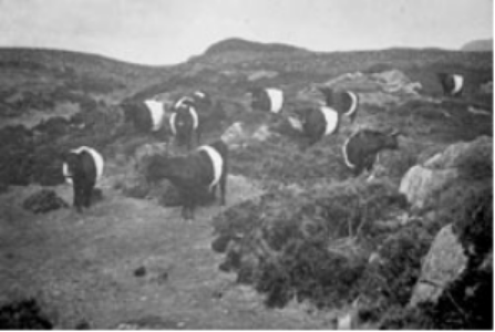galloways_on_scotish_highlands.png