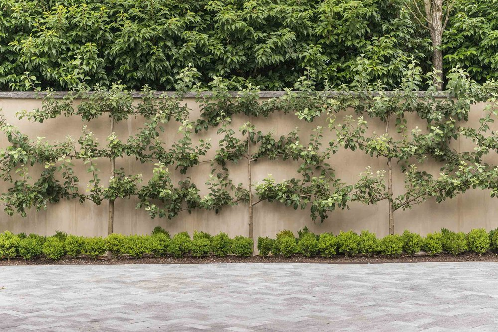 Espalier in Bellevue, Washington.