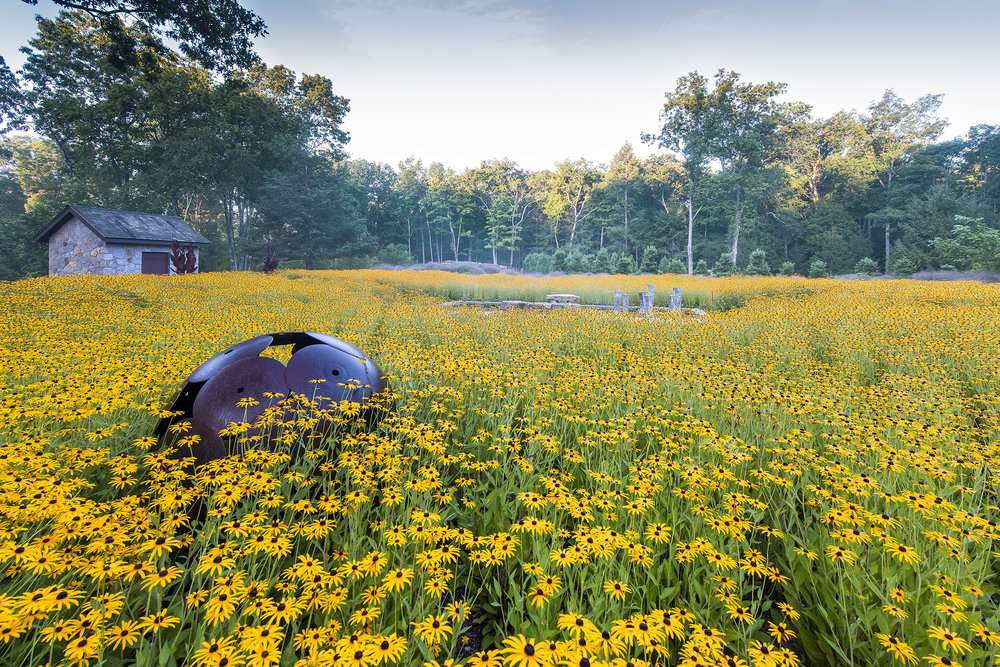 Land Morphology designed the monocultural meadow of  Rudbeckia fulgiva  var.  deamii  at In Situ (Connecticut) for visual impact.  Photo by Rob Cardillo.
