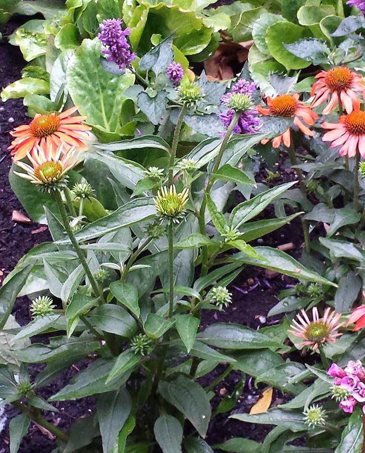 Newly planted Echinacea 'Balsomador' Sombrero Adobe Orange on the Pike St. Hill Climb