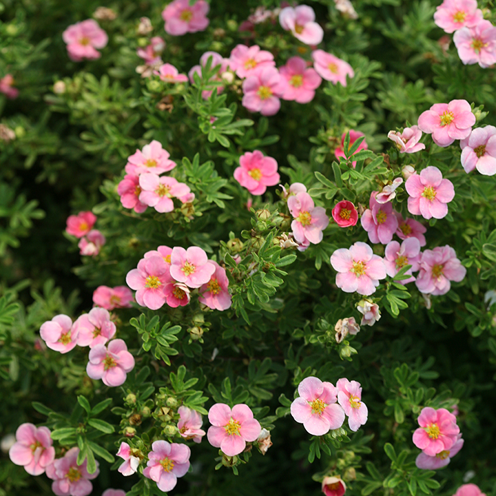 Potentilla Fruticosa Lovely Pink Long Flowering Garden Shrub
