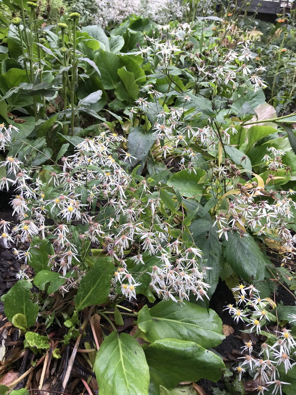 The long flowering  Eurybia divaricata  (white wood aster) still blooming strong in December on the Pike Street Hill Climb in Seattle, a landscape recently renovated by Land Morphology.