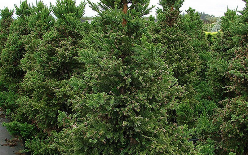 Cryptomeria japonica 'Black Dragon' 2.jpg