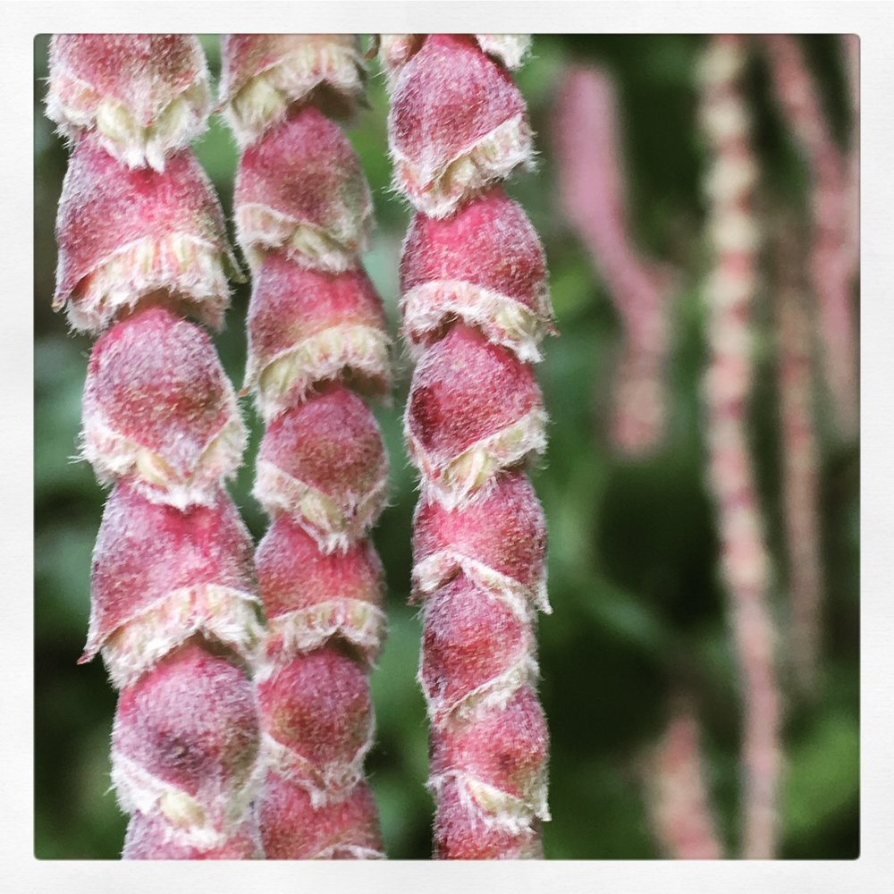 Repeating pattern of the silk tassel shrubs catkins  Photo by Renee Freier