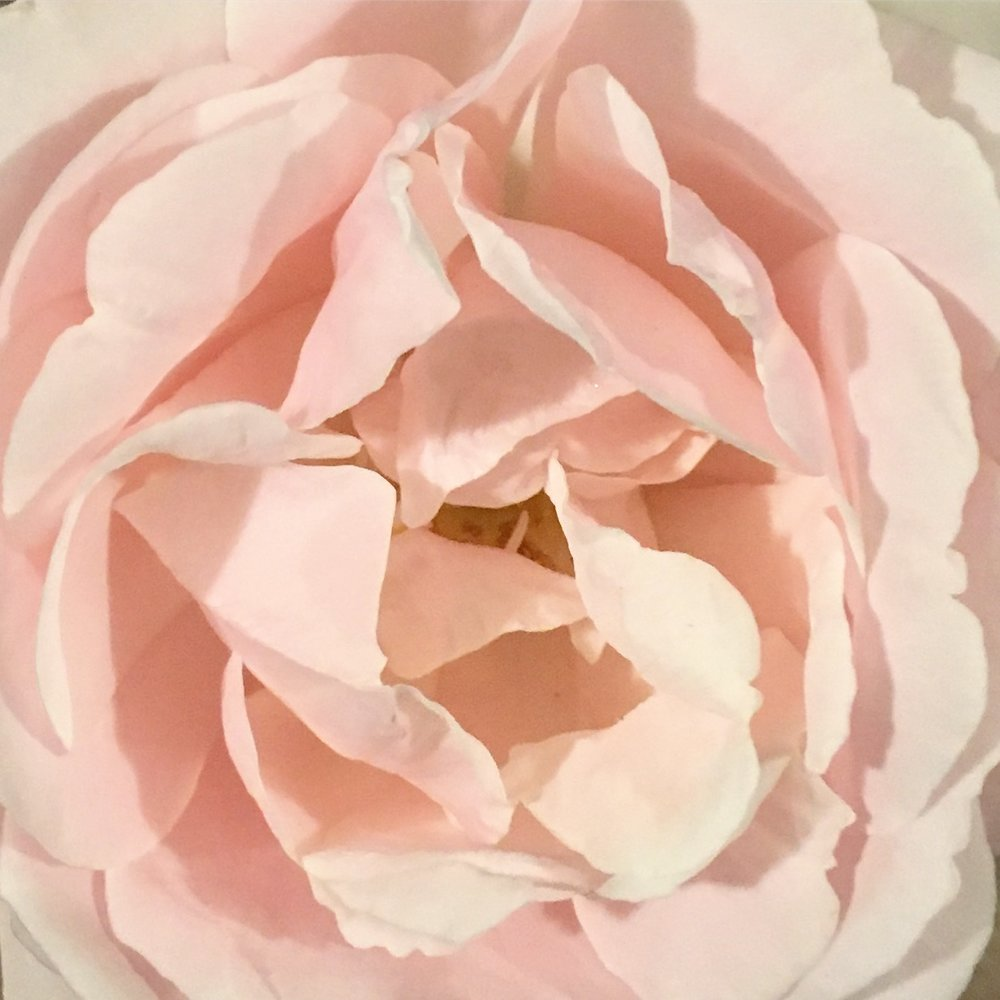 Repeating pale folds of the rose petals  Photo by Renee Freier