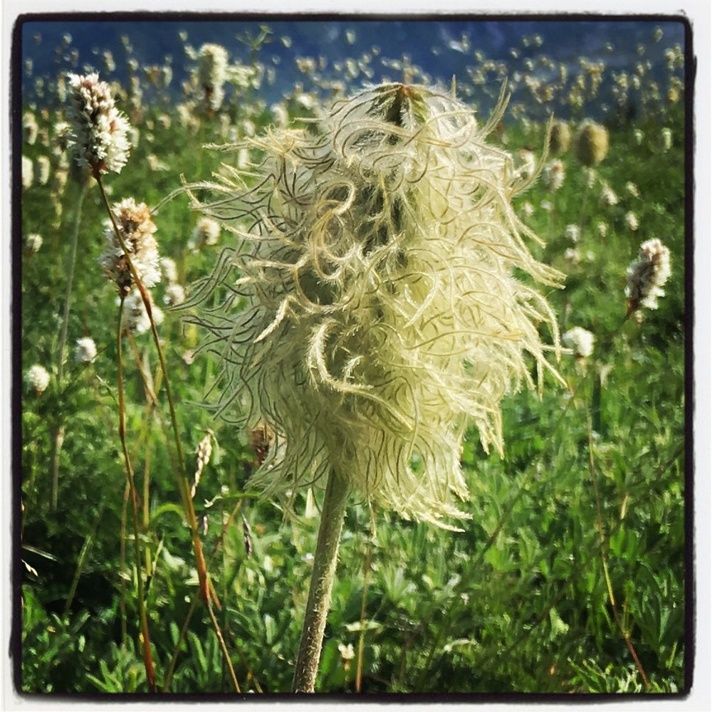 Wild pattern of the anemone seedhead  Photo by Renee Freier