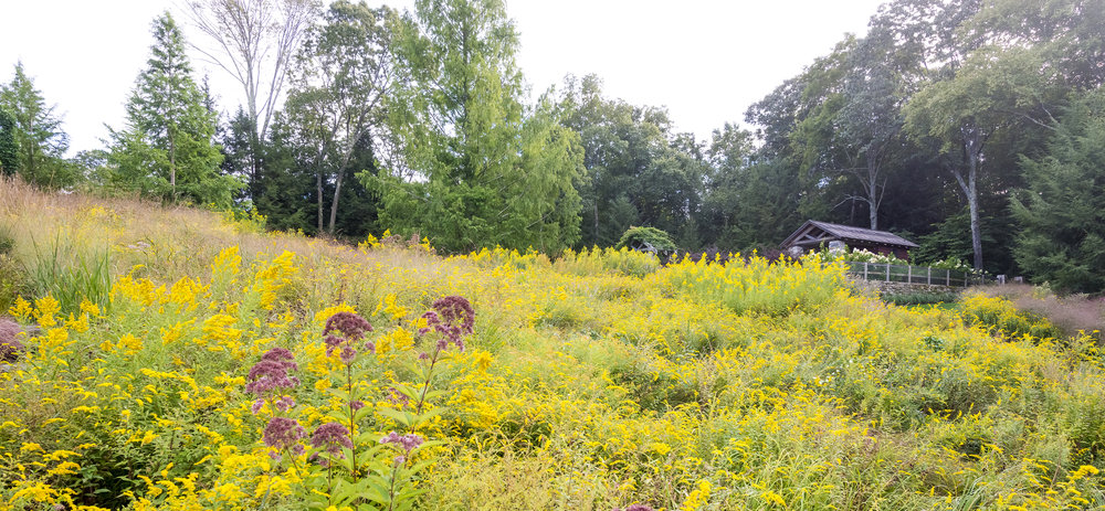 In summer there's an explosion of Goldenrod at In Situ.