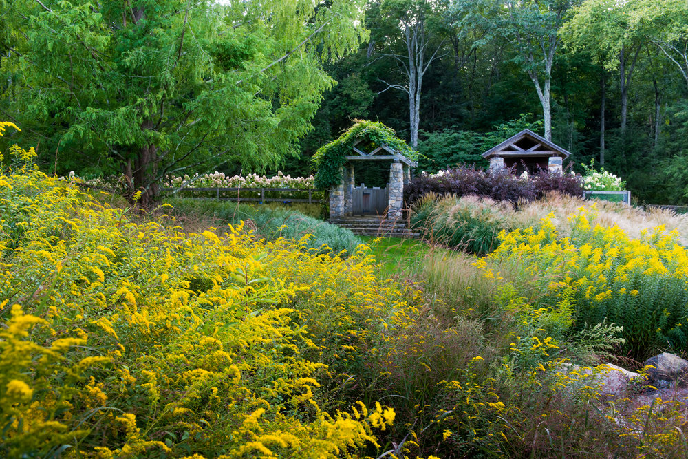 Wisteria covered arbors with solidago in foreground