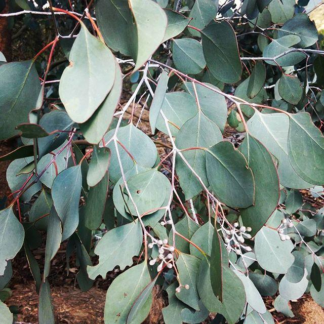 Favourite  #hellonature #eucalyptus #nature #tree #leaves