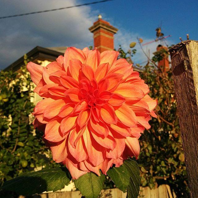 Face to the sun  #hellonature #nature #flower #dahlia