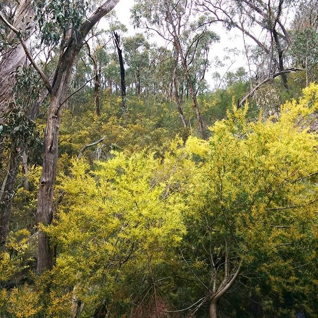 Wattle washed  #wattle #spring #thegrampians #victoria #nature #trees #bushwalk