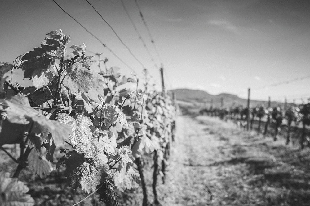vineyard-waiting-for-the-first-grapes-picjumbo-com (1)NB.jpg