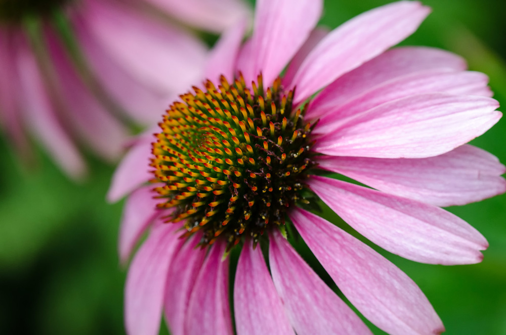 Coneflower Duo