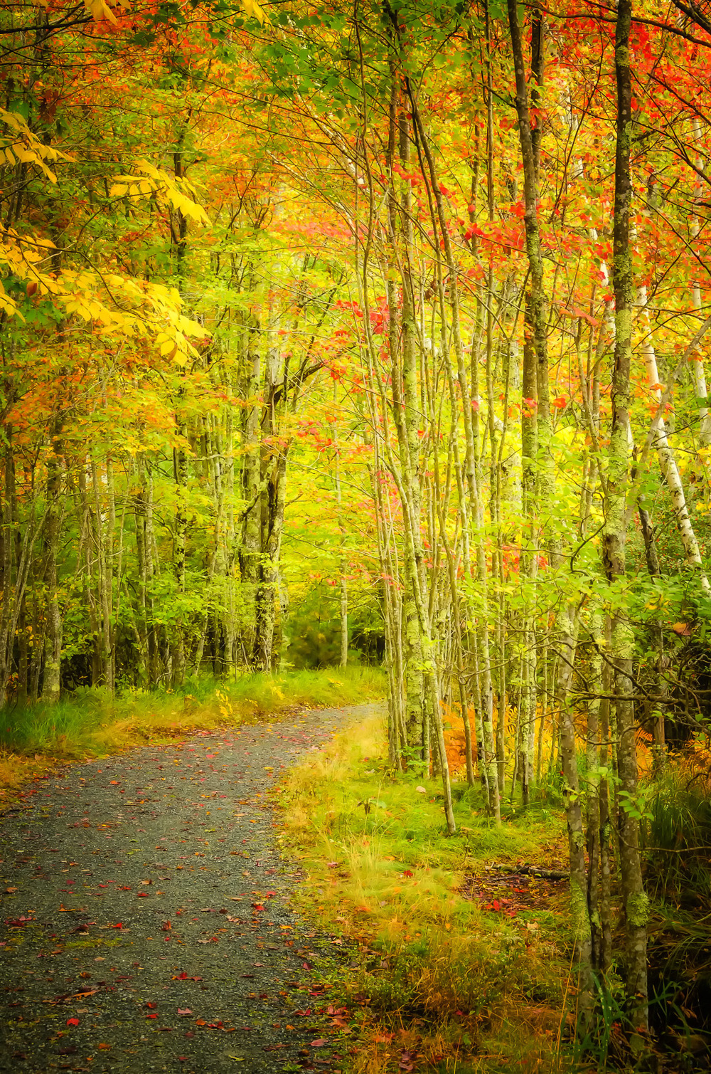 Birches in Fall, Acadia Hiking Trail, Maine
