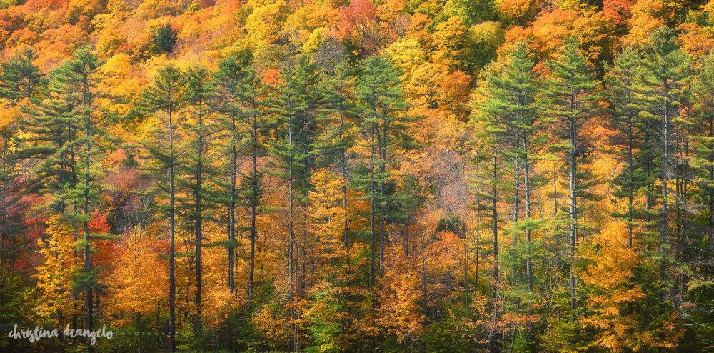 Tall Pines in Fall, Woodstock, VT