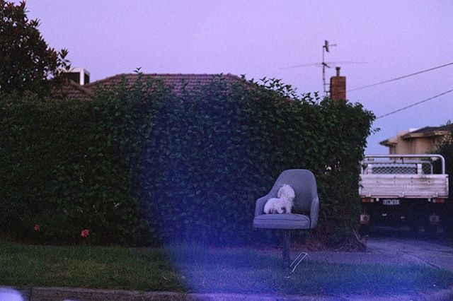 Doggy Chair  #35mm #film #lensflare or #ghost  #preston #melbourne #dog #hedge #pentax