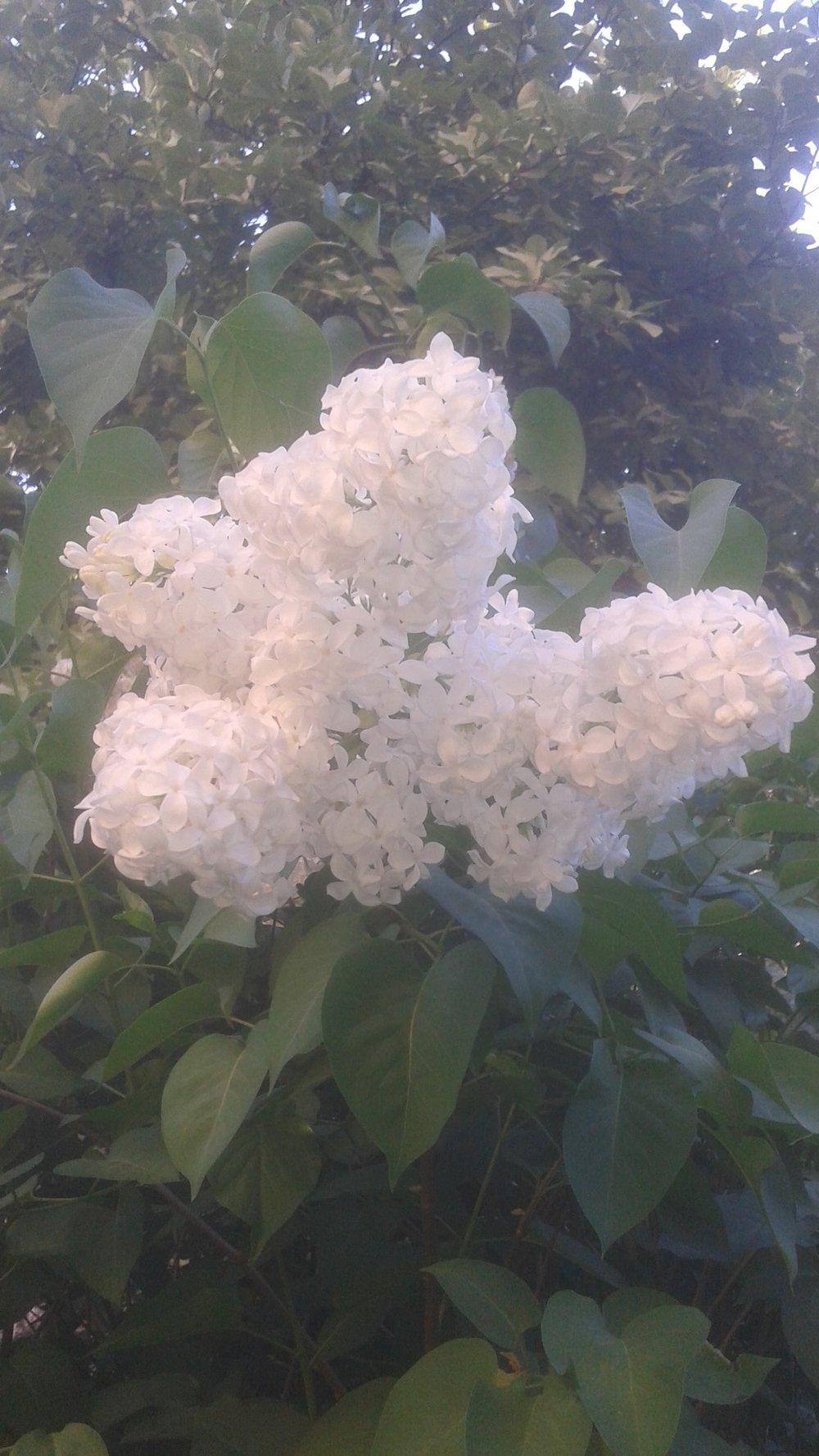 Syrenbuske vit.jpg