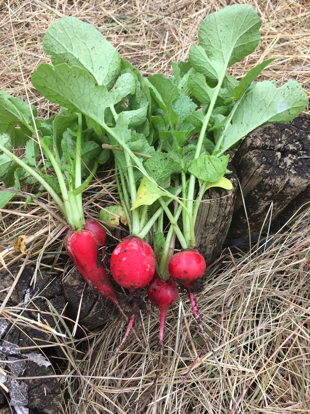 Radish straight from the garden.