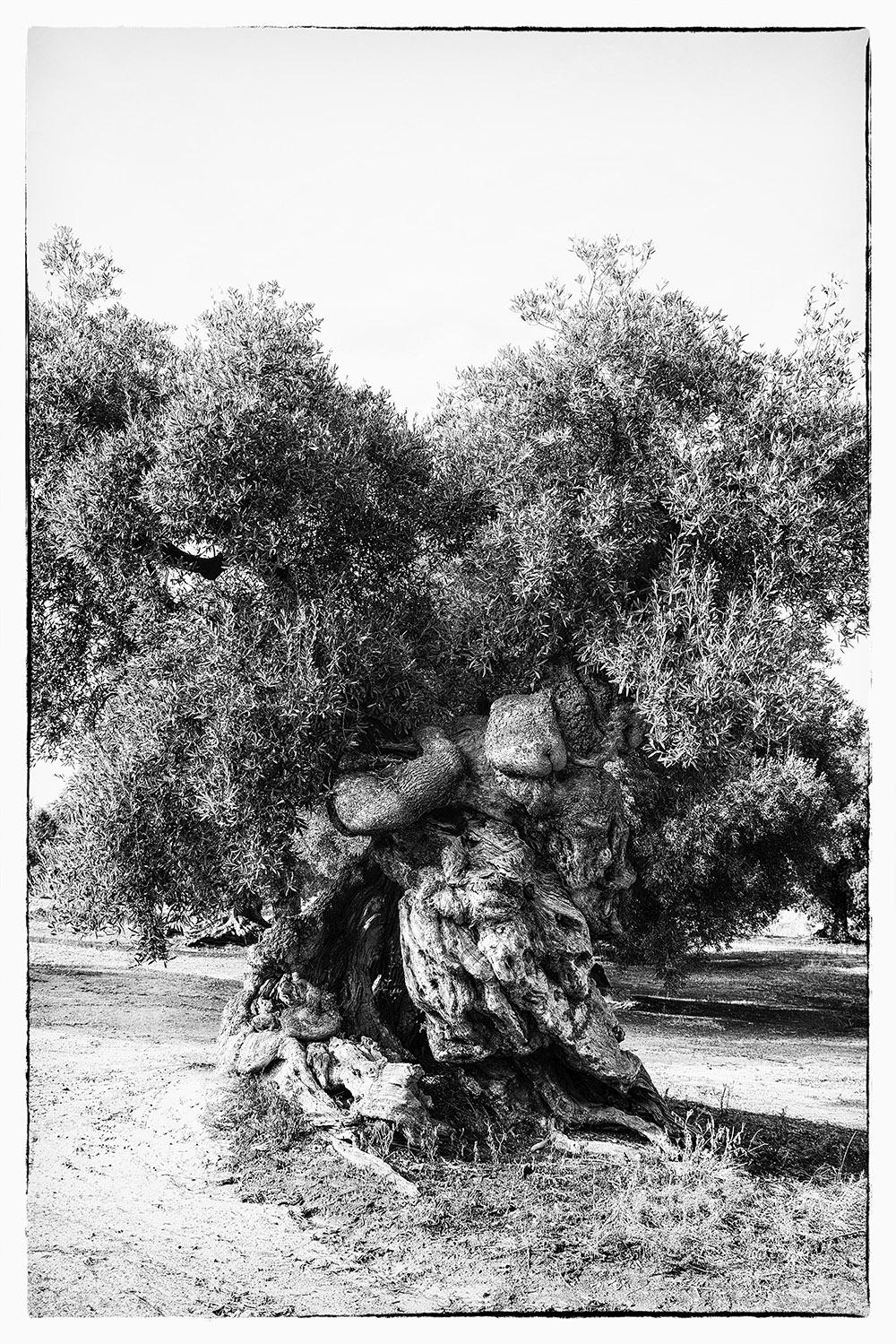 Fotowerk Naturfotografie - wild gewachsener Olivenbaum
