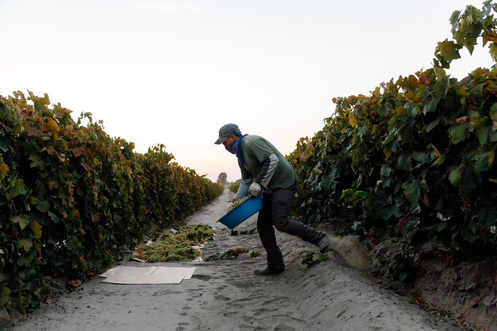 Grapes are pulled at set to dry between rows.