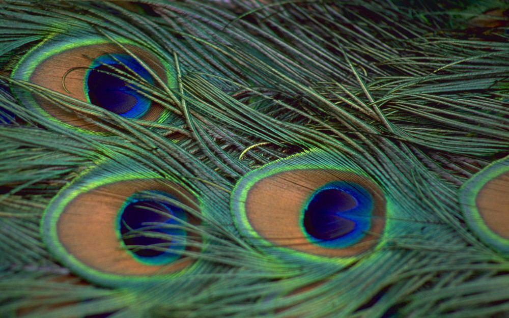 World_India_Peacock_Feathers_022201_.jpg
