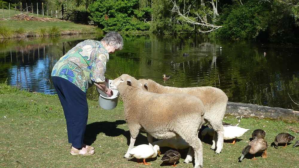 Feeding the Sheep at Mokoia Downs.JPG