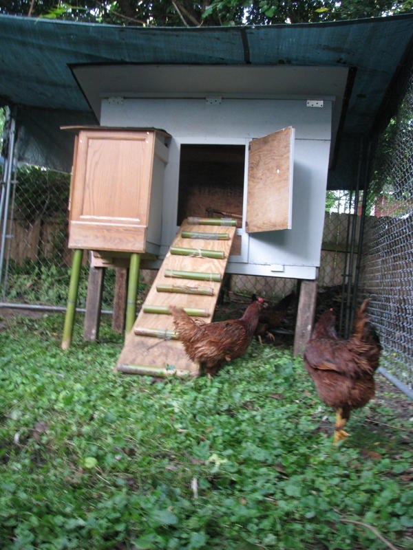 Chicken6