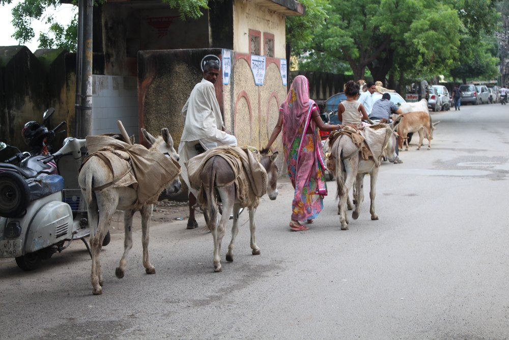 Udairpur Donkey's
