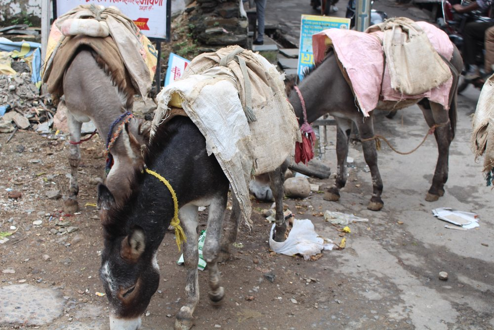 Donkey's are the workhorse back bone of Udaipur.  Here they are eating trash on the ground