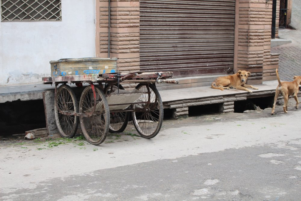 Dogs in Udaipur