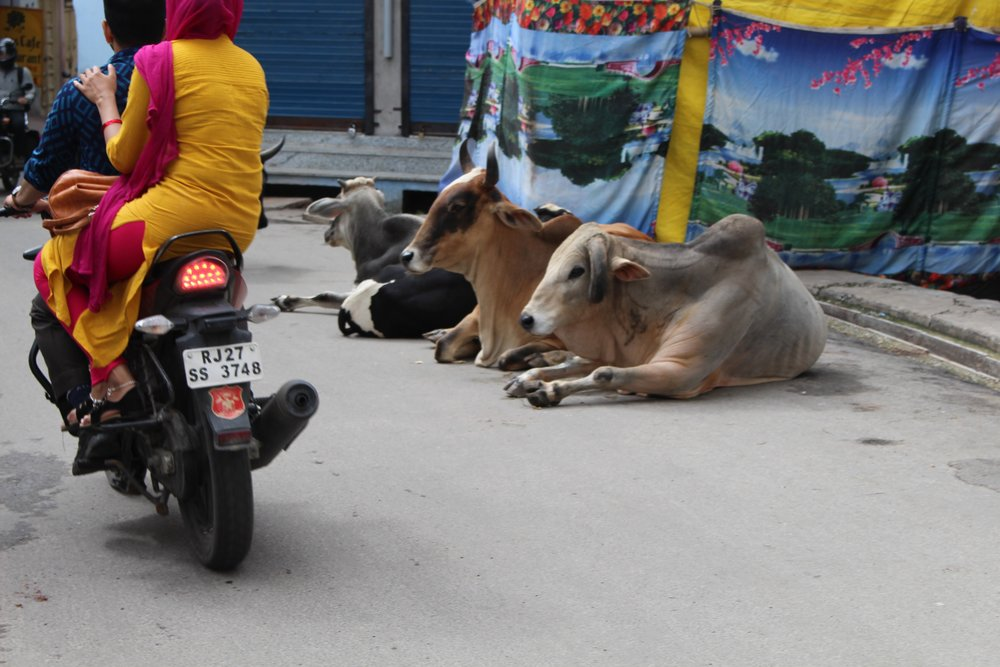 Cows and motor bikes in Udaipur