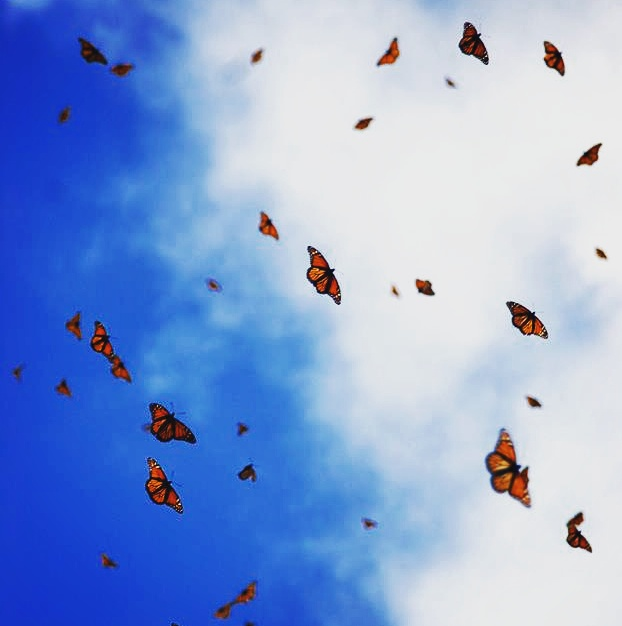 Leigh Ann Henion's Monarch Butterflies