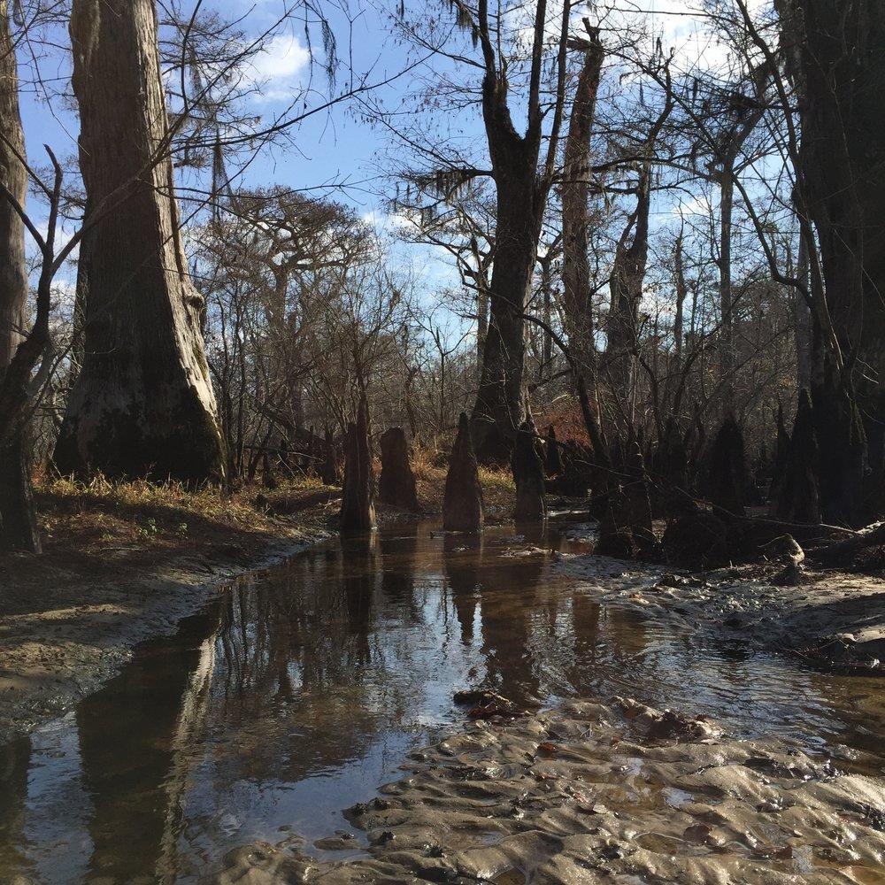 Three sisters Cypress Swamp