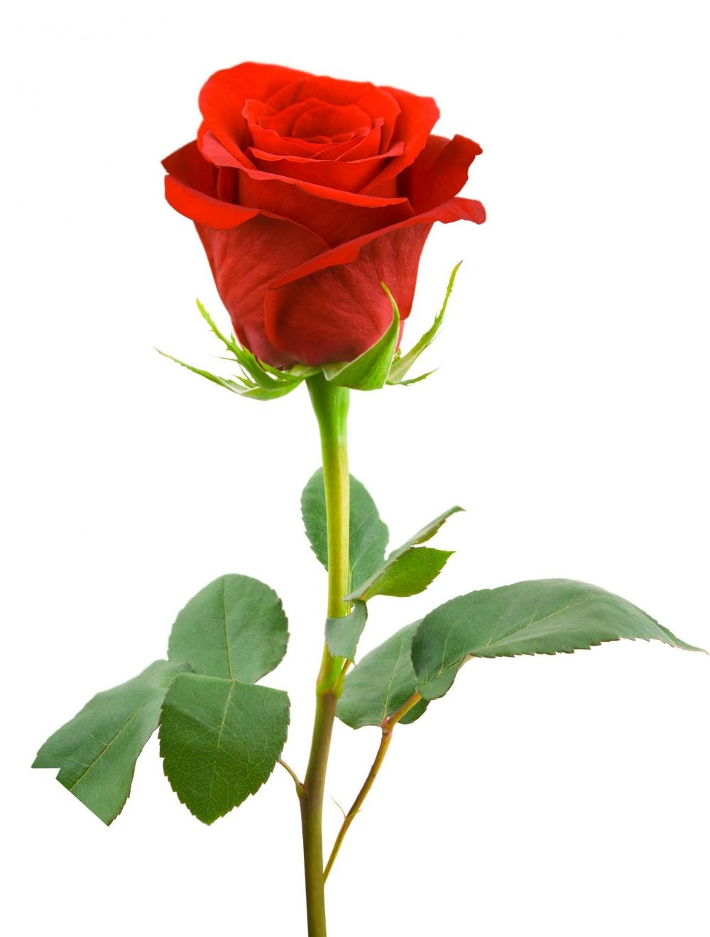 single-red-rose-long-stem.jpg