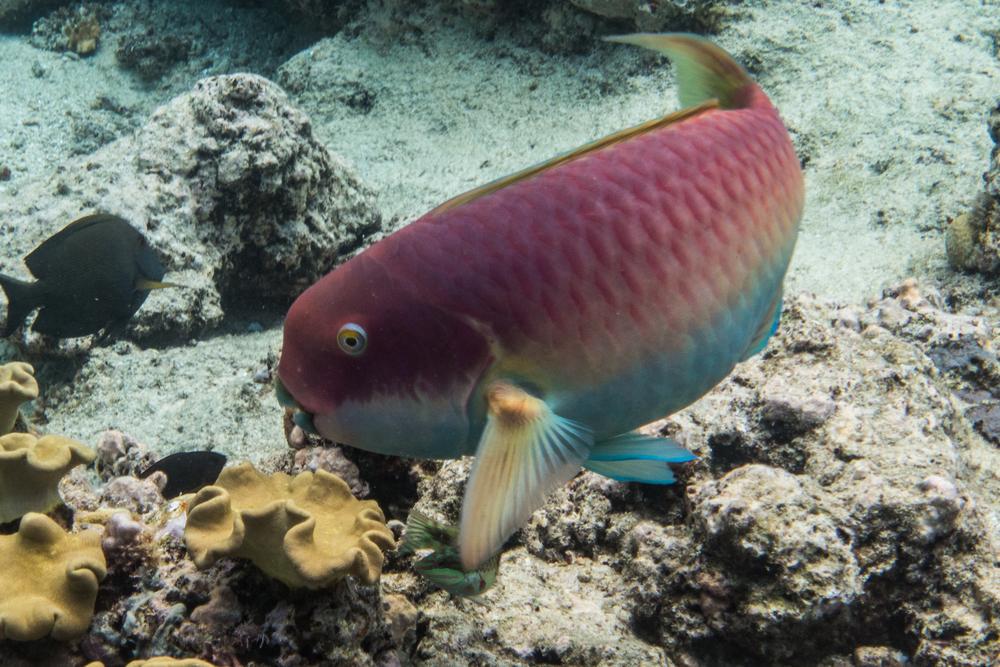 Female Parrotfish