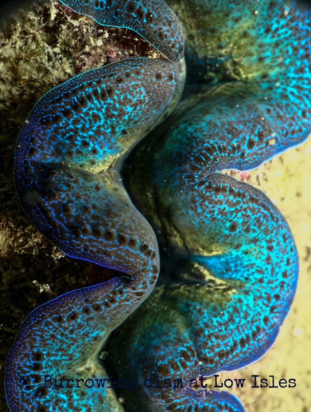 Reef Society Low Isles 160101-1Clam.jpg