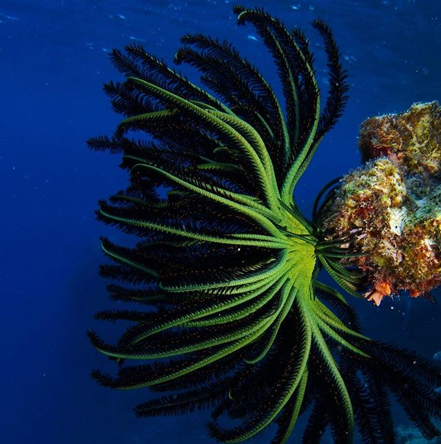 """Glorious colours ❤️🌈of our Great Barrier Reef. A Feather Star - related to prehistoric stalked Sea Lillies and modern starfish - grasps the reef lime green """"feet"""" - modified arms called cirri. The wavy dark arms are spread to catch passing plankton for food - another of the many hungry mouths on a coral reef."""