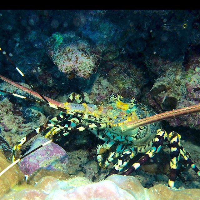A Painted Crayfish under a ledge at Nigel's Bommie..... yes, he could have been dinner, but he's just too important for the reef, and isn't it great Lizard Island is completely protected!