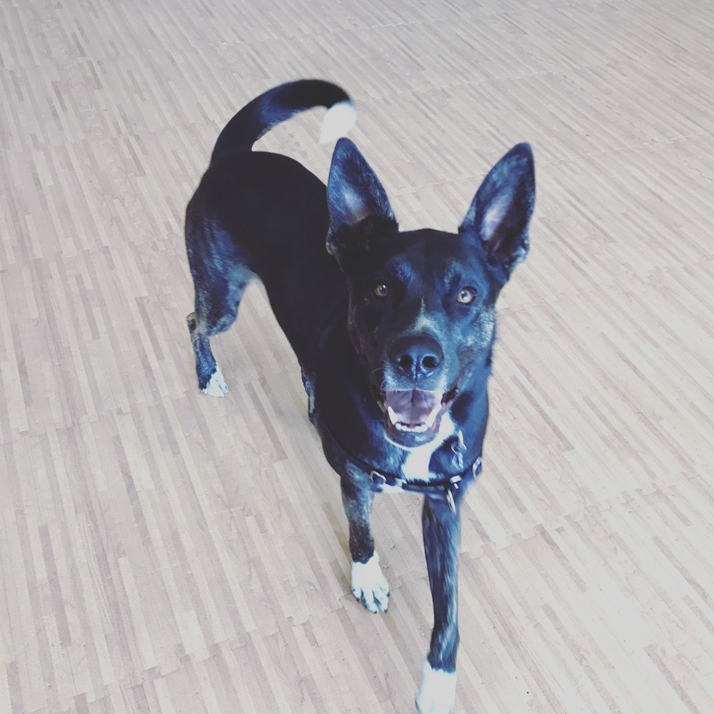 Adult Class - This ongoing class is held eveRy saturday at 1:00Pm, and is appropriate for Dogs Over the age of 8months who are up to date on vaccinations and friendly toward other dogs. Each week we cover a common topic related to teaching your pup the manners and obedience needed to live harmoniously with your family.