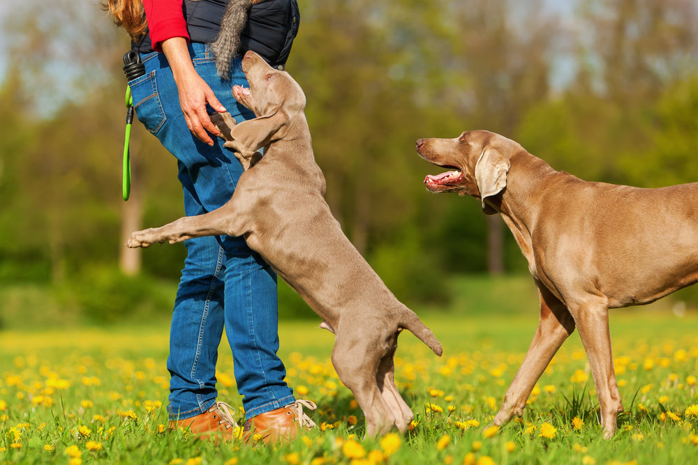 Greeting People Politely Workshop   This one-hour workshop focuses on the skills necessary to greet people politely and eliminate jumping to encourage reliability amongst distractions and is custom tailored to your dog's needs.