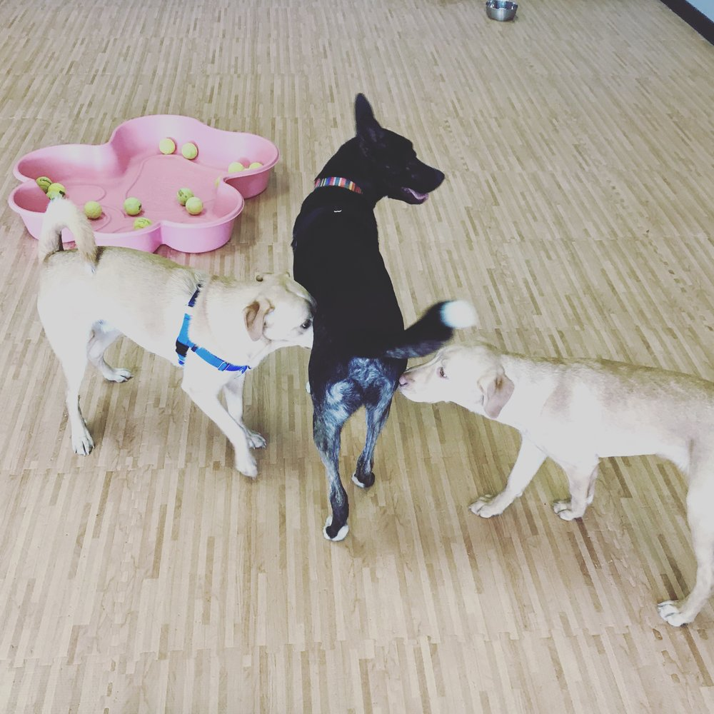 Play-By-The-Hour Socialization - Scheduled playdates at our facility, with other friendly dogs and people, verified!