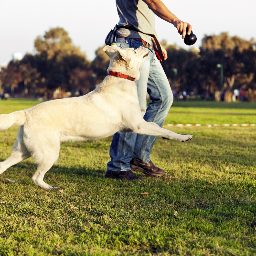 Focus Advanced Outdoors Workshop   For dogs of any age that are highly rambunctious and have trouble focusing on their handler. This 1 hour special workshop will give you tools to cultivate impulse control, engagement and calmness around distractions.