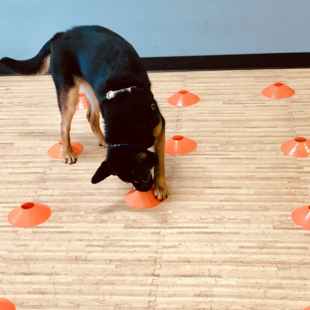 Scentwork Games (For Pets!) Workshop   Teaching the dog to use their nose to solve puzzles is a great way to burn both mental and physical energy. During this workshop we will introduce the dog to a variety of scent puzzles, in varying environments. This fun filled workshop is great for increasing focus on tasks!
